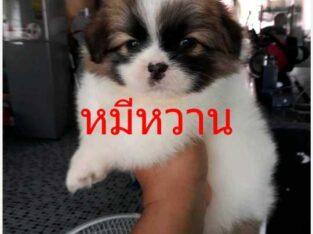 แม่ปอมชิวาว่าพ่อชิสุ 0866084921