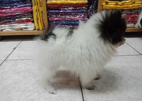 ขายลูกสุนัขพันธุ์ปอมเมอเรเนียน