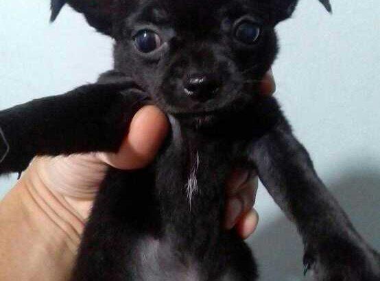 ชิวาว่า หมาจิ๋ว 2000 ถ่ายพยาธิฉีดวัคซีนรวมหกโรคพร้อมประกันสุขภาพ สนใจ โทร/ไลน์ 0866897460 เมืองเชียงราย บริการจัดส่ง