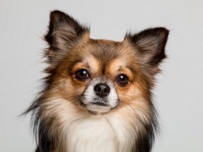 วิธีเลือกซื้อหมาสายพันธุ์ชิวาวา (Chihuahuas) ต้องอ่านก่อนที่จะซื้อ