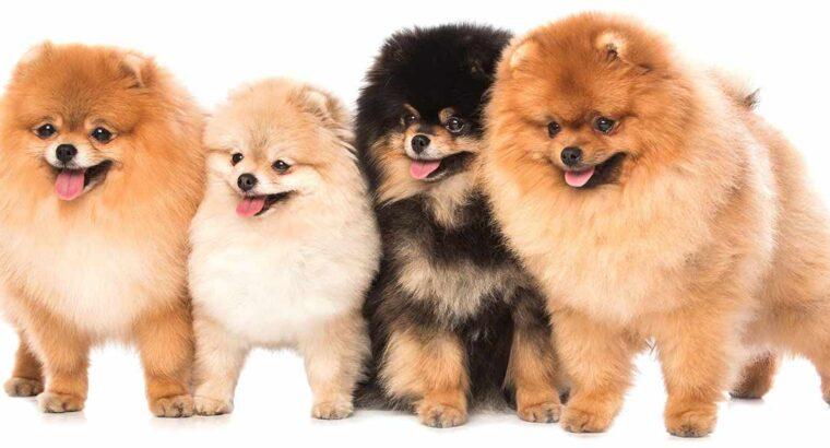 วิธีเลือกซื้อหมาสายพันธุ์ปอมเมอเรเนียน Pomeranian อย่างไรไม่ให้โดนโกง