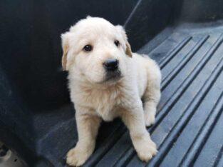 ขายลูกสุนัขพันธุ์ลาบาดอร์ผสมร็อตไวเลอร์