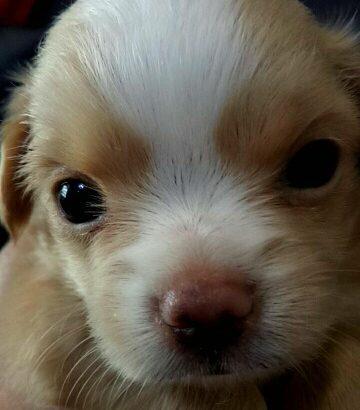 ขายน้องหมาชิวาวา ตัวเมีย สีน้ำตาลขาว ครับ