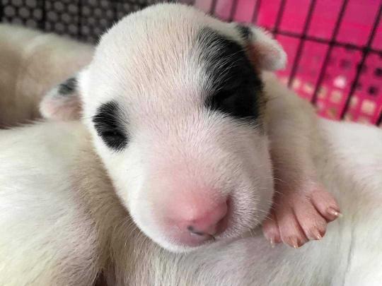 ลูกสุนัข Bull terrier