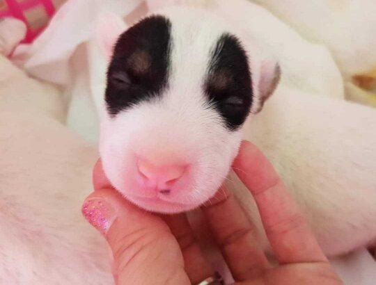 ขายลูกสุนัขบลูเทอเรีย Bullterrier sd.