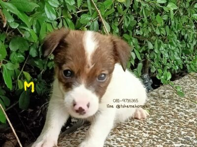 ขาย jack Russell terrier