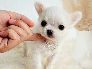 ANGELO ชิวาวาสีขาวสำลี
