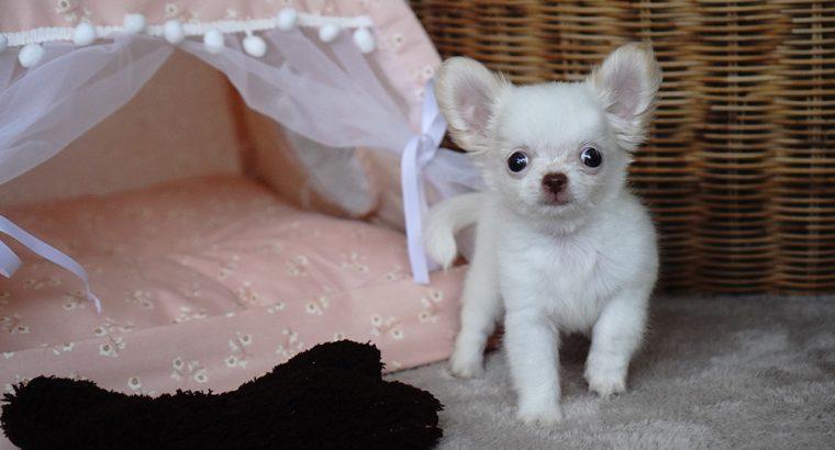 น้องเคนนี่ ชิลชิล ชิวาวาสีขาวขนยาว