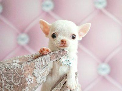 ENZO ชิวาวาสีขาวขนสั้น 75000฿